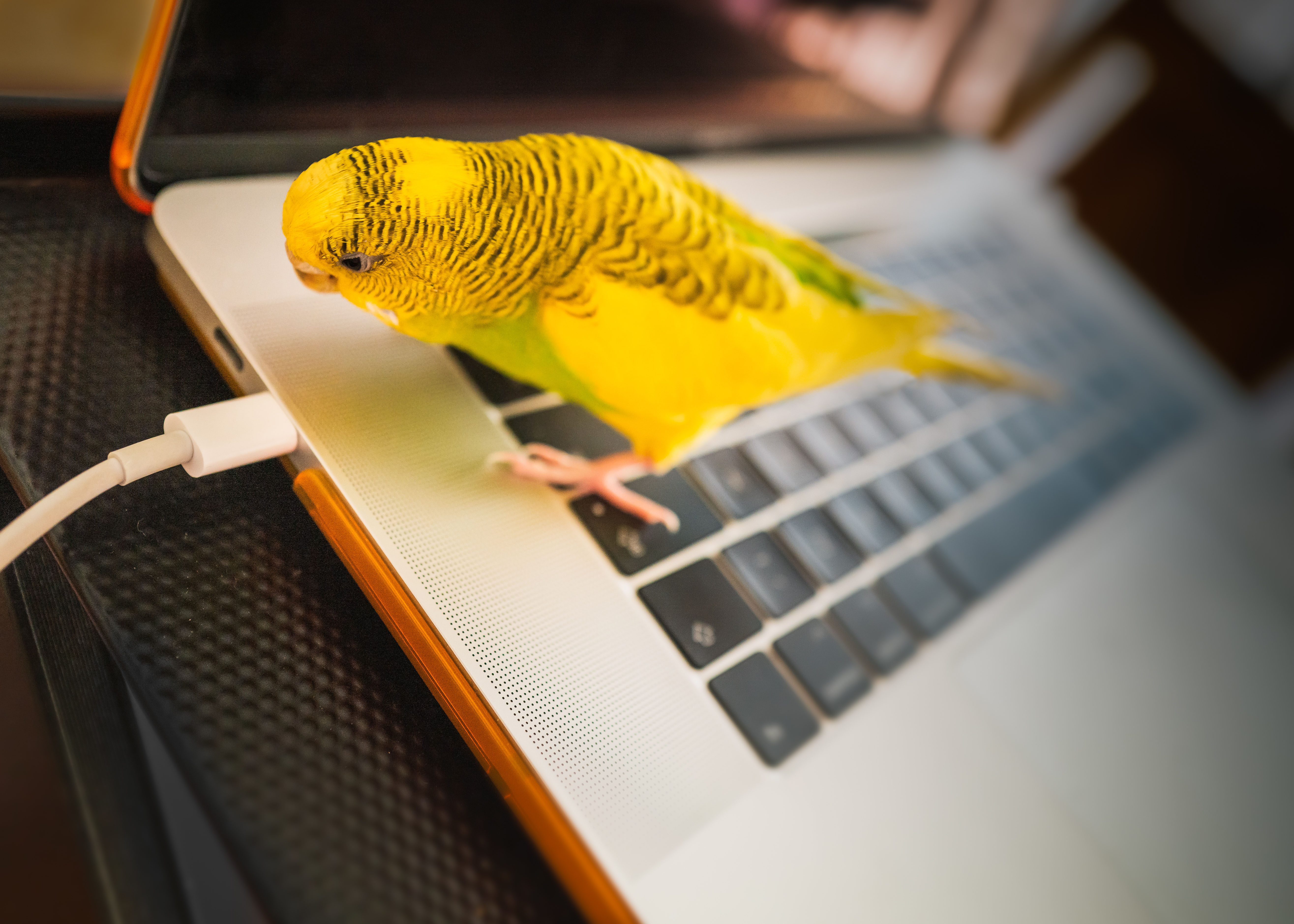 A photo of a bright yellow budgie standing on the keyboard of a smart-looking laptop, staring at the cable