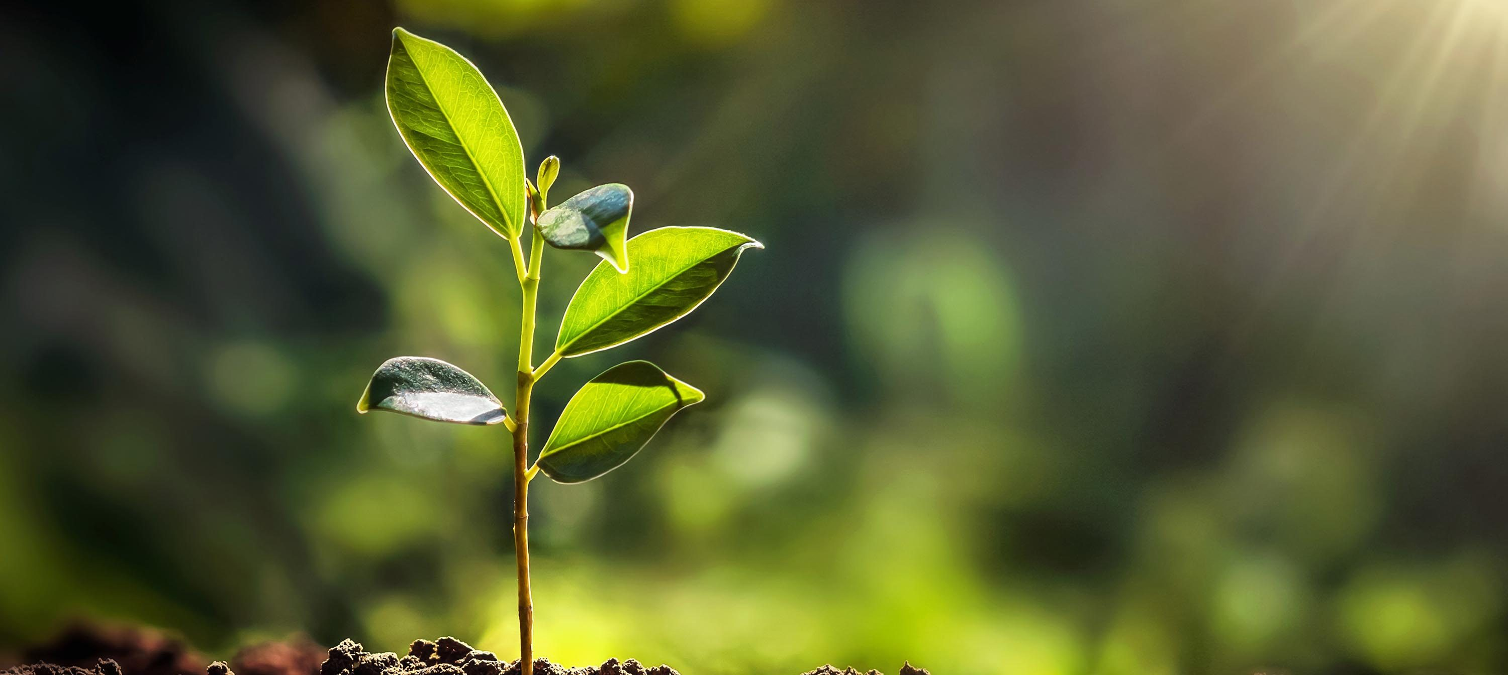 A photo of a small tree sapling in fresh soil. The sunlight is shining through the leaves. The background is heavily blurred by seems to suggest a forest or woodland scene. This is being used symbolically to denote organic, natural growth.