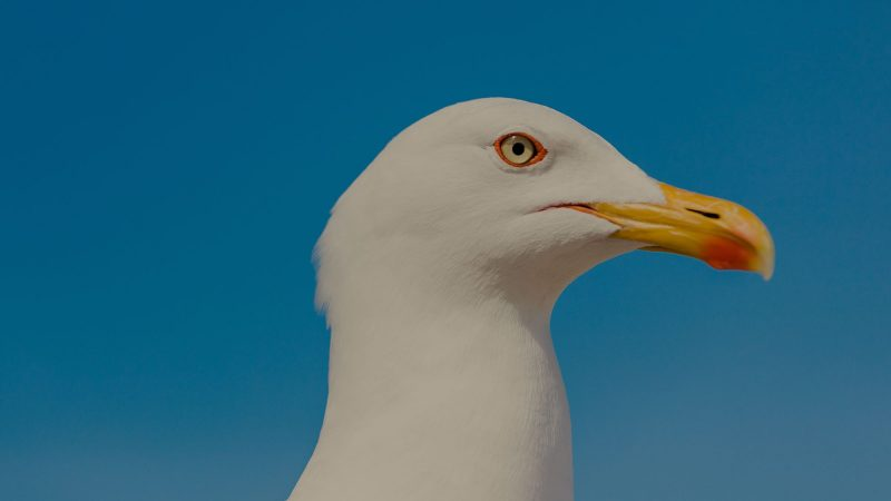 A close up of the yellow beak and eye of a seagull staring down the camera lens menacingly. The background is a bright blue sky, causing the bird's white plumage to stand out.